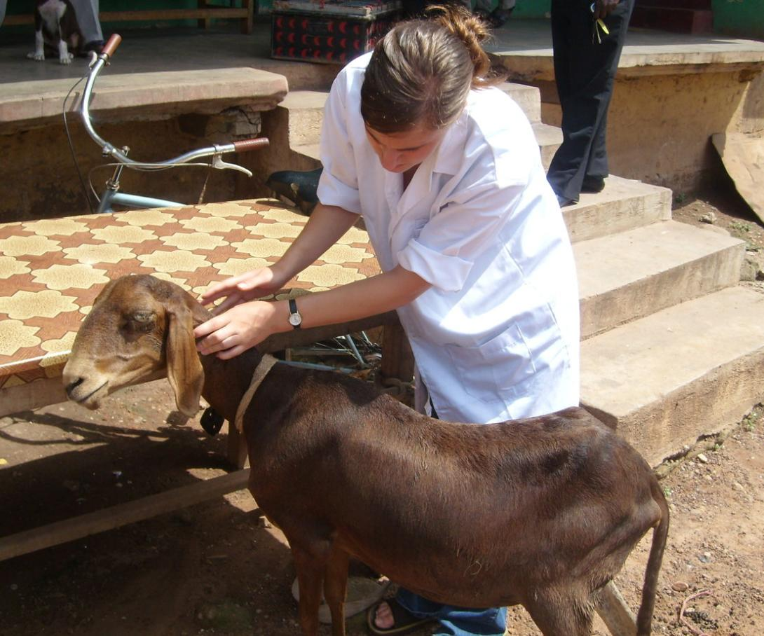 A Veterinary Medicine intern in Ghana examines a goat as part of gaining practical experience abroad.